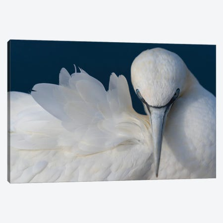 Gannet Elegance Canvas Print #MTS159} by Martin Steenhaut Canvas Artwork