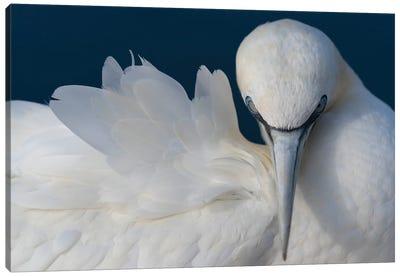 Gannet Elegance Canvas Art Print