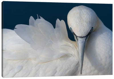 Gannet Elegance Canvas Art Print