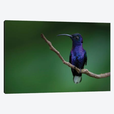 Blue Hummingbird Canvas Print #MTS15} by Martin Steenhaut Canvas Art Print