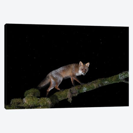 Night Fox On A Tree Canvas Print #MTS162} by Martin Steenhaut Canvas Art Print