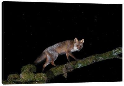 Night Fox On A Tree Canvas Art Print