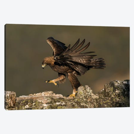 Golden Eagle Dance Canvas Print #MTS163} by Martin Steenhaut Canvas Art Print