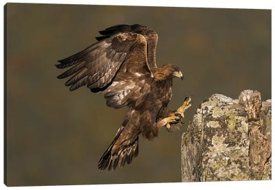Golden Eagle Rock Landing Canvas Art Print