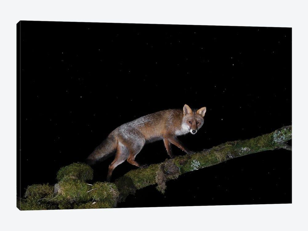 Fox Rain Like Stars by Martin Steenhaut 1-piece Canvas Art