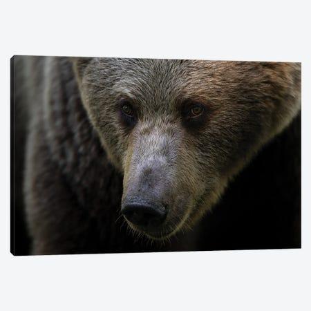 Bear Portrait Canvas Print #MTS180} by Martin Steenhaut Canvas Print
