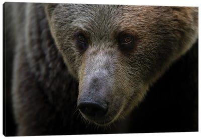 Bear Portrait Canvas Art Print
