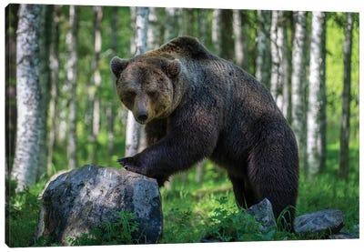 Big Male Bear Showing Off Canvas Art Print