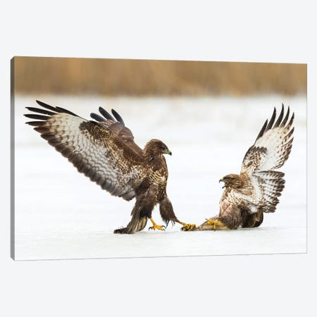Buzzard Dominance Canvas Print #MTS19} by Martin Steenhaut Canvas Art