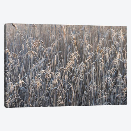 Frozen Reed Canvas Print #MTS47} by Martin Steenhaut Canvas Art