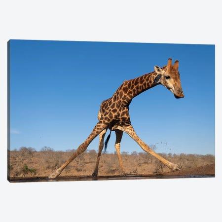 Giraffe Spread Canvas Print #MTS50} by Martin Steenhaut Canvas Art