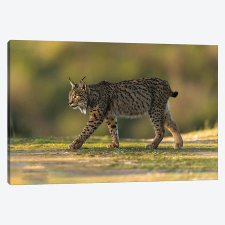 Golden Light Lynx Canvas Print #MTS54} by Martin Steenhaut Canvas Art Print