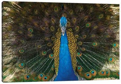 Indian Peacock Canvas Art Print