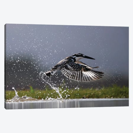 Kingfisher Splash Canvas Print #MTS68} by Martin Steenhaut Canvas Print