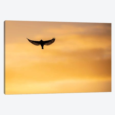 Kingfisher Sunset Canvas Print #MTS69} by Martin Steenhaut Art Print