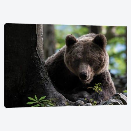 Bear Hiding I Canvas Print #MTS6} by Martin Steenhaut Canvas Art Print