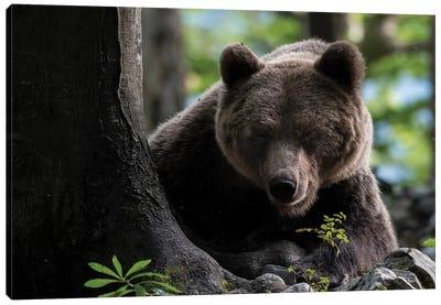 Bear Hiding I Canvas Art Print