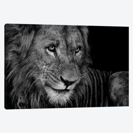 Lion Rest Canvas Print #MTS74} by Martin Steenhaut Canvas Print