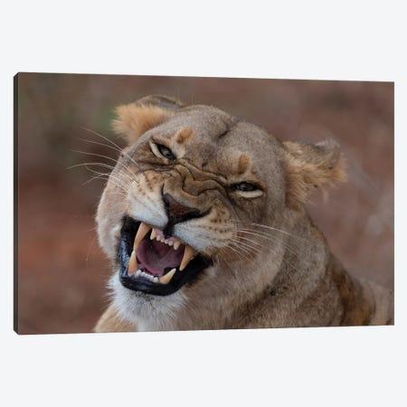 Lioness Roar Canvas Print #MTS76} by Martin Steenhaut Canvas Print