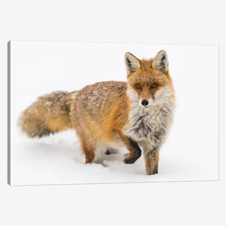 Red Fox Snow Canvas Print #MTS89} by Martin Steenhaut Canvas Art Print