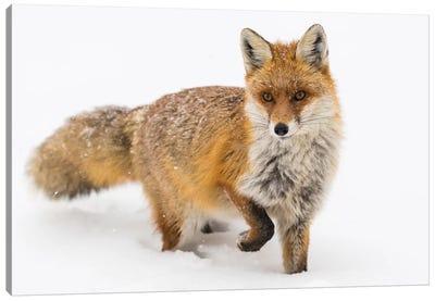 Red Fox Snow Canvas Art Print