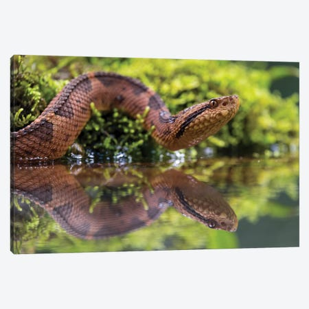 Snake Reflection 3-Piece Canvas #MTS96} by Martin Steenhaut Canvas Art Print