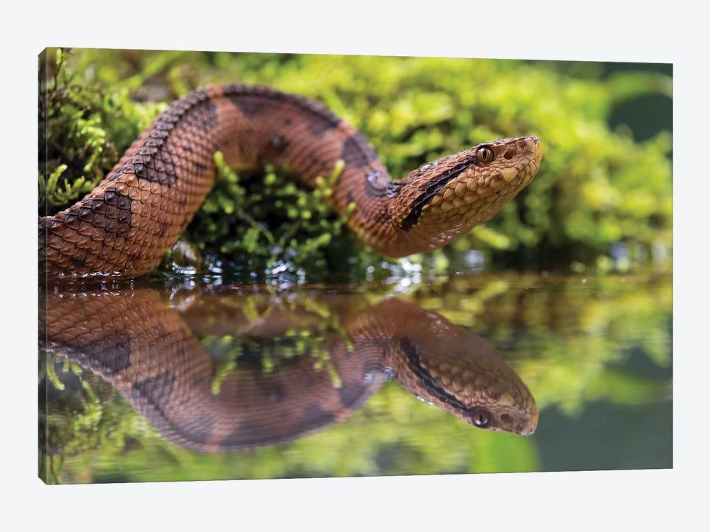 Snake Reflection by Martin Steenhaut 1-piece Canvas Print