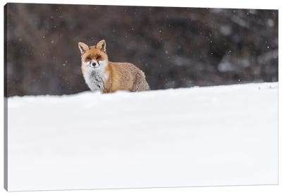 Snow Fox I Canvas Art Print