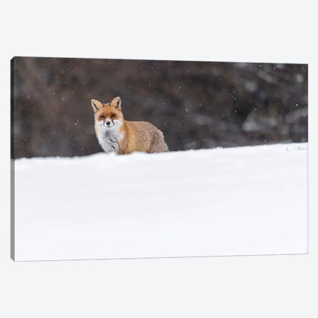 Snow Fox I Canvas Print #MTS97} by Martin Steenhaut Canvas Art Print