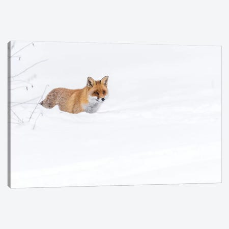 Snow Fox II Canvas Print #MTS98} by Martin Steenhaut Canvas Wall Art