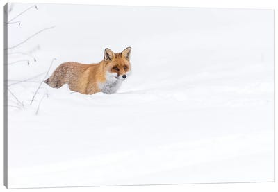 Snow Fox II Canvas Art Print