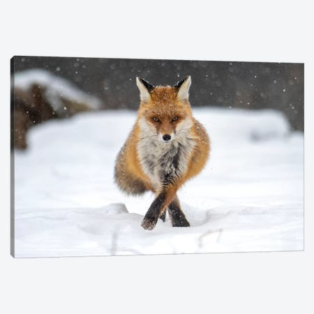 Snow Fox III Canvas Print #MTS99} by Martin Steenhaut Canvas Wall Art