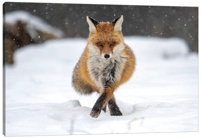 Snow Fox III Canvas Art Print