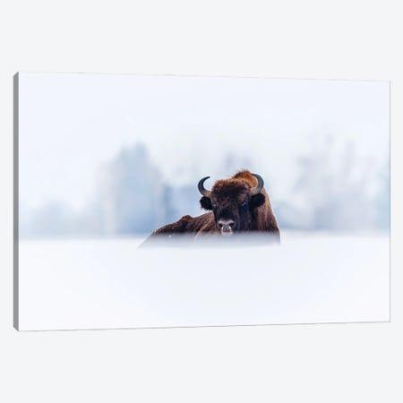 Winter Bison Canvas Print #MTU118} by Mateusz Piesiak Canvas Artwork