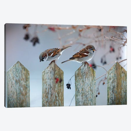 House Sparrows Canvas Print #MTU122} by Mateusz Piesiak Canvas Art Print