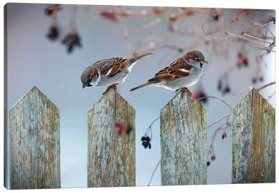 House Sparrows Canvas Art Print