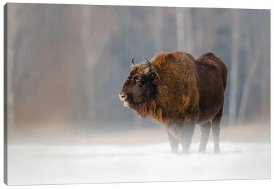 Bison II Canvas Art Print