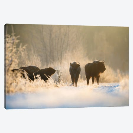 Bison In Winter Landscape Canvas Print #MTU126} by Mateusz Piesiak Canvas Wall Art