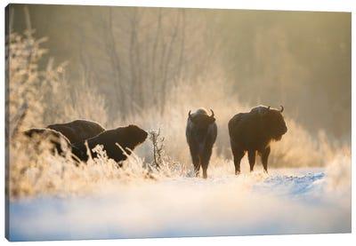 Bison In Winter Landscape Canvas Art Print