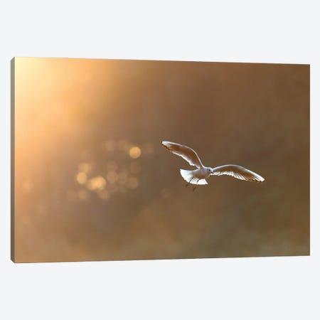 Black-Headed Gull At Sunrise Canvas Print #MTU142} by Mateusz Piesiak Canvas Print
