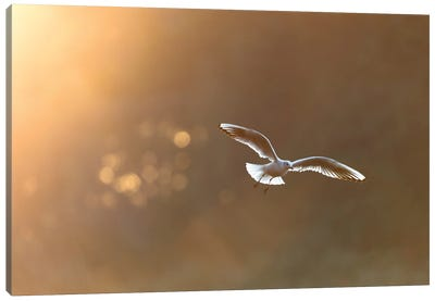 Black-Headed Gull At Sunrise Canvas Art Print