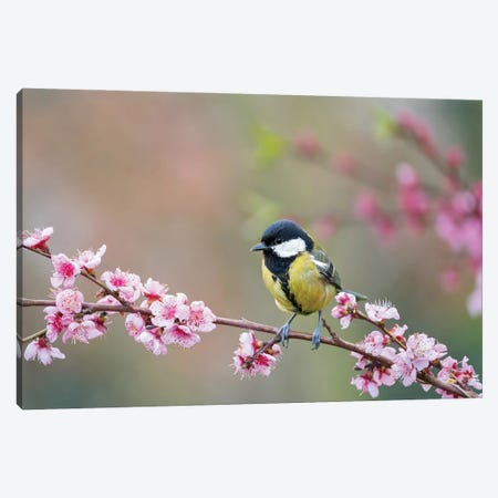Great Tit In Spring Canvas Print #MTU154} by Mateusz Piesiak Canvas Print