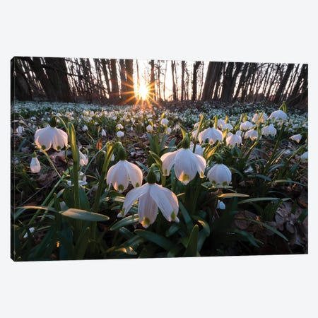 Snowdrops I Canvas Print #MTU165} by Mateusz Piesiak Canvas Artwork
