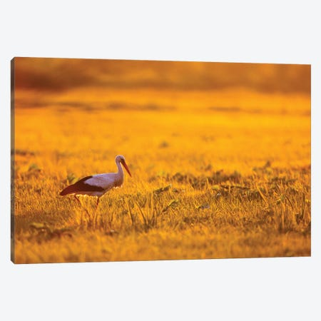 White Stork At Sunrise Canvas Print #MTU185} by Mateusz Piesiak Canvas Artwork