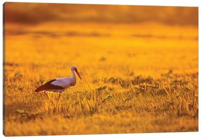 White Stork At Sunrise Canvas Art Print