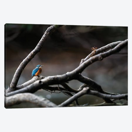 Kingfisher II Canvas Print #MTU200} by Mateusz Piesiak Canvas Wall Art