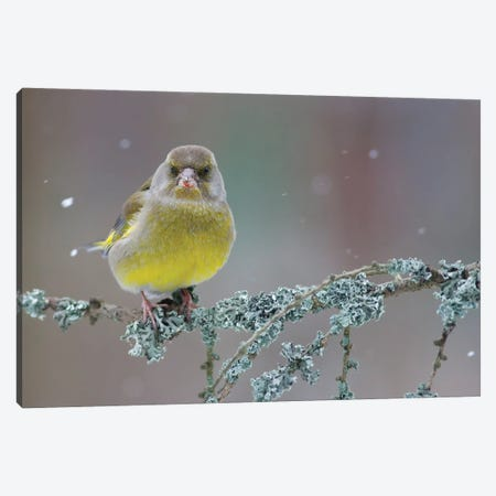 Greenfinch Portrait Canvas Print #MTU204} by Mateusz Piesiak Canvas Print