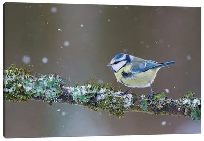 Blue Tit In Winter II Canvas Art Print