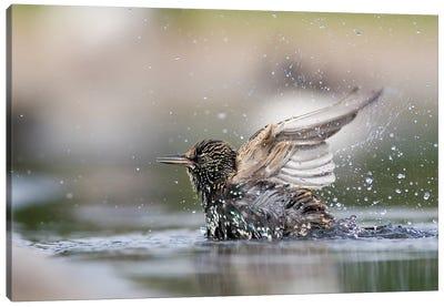 Bathing Starling Canvas Art Print