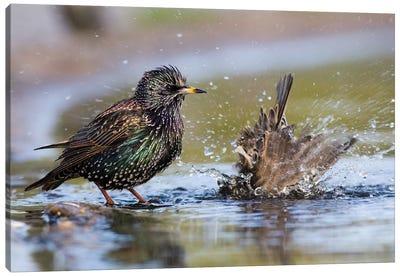 Bathing Starlings Canvas Art Print